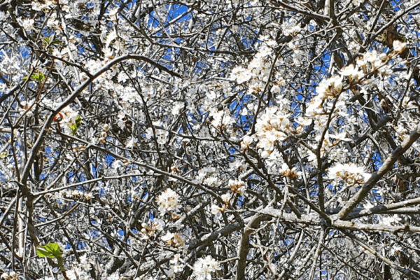 ÉPINE NOIRE ou Prunellier sauvage (Prunus spinosa)