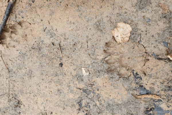 Empreintes d'animaux au bord du Mussy