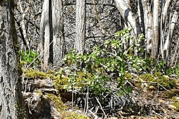 HELLEBORE FETIDE ou Pied-de-griffon (Helleborus foetidus L.)