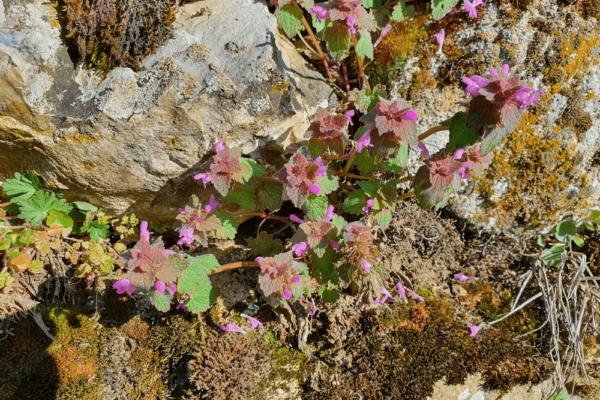 LAMIER POURPRE ou ortie rouge (Lamium purpureum var. purpureum)