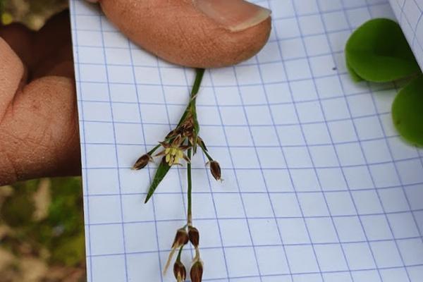 LUZULE DES BOIS (Luzula sylvatica) 2