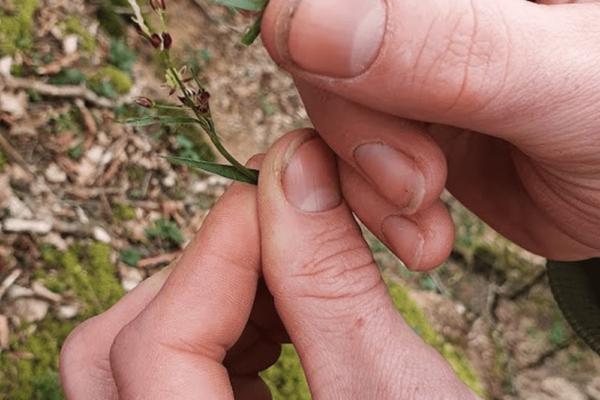 LUZULE DES BOIS (Luzula sylvatica)