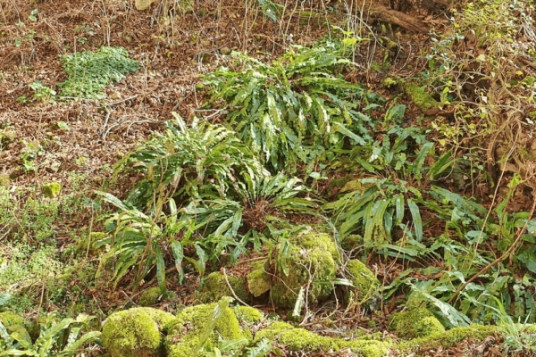 SCOLOPENDRE (Asplenium scolopendrium) 2