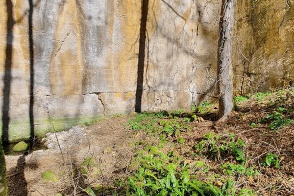 SCOLOPENDRE (Asplenium scolopendrium) 3