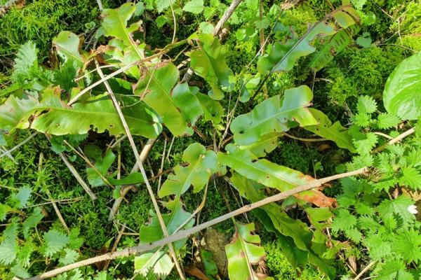 SCOLOPENDRE (Asplenium scolopendrium)