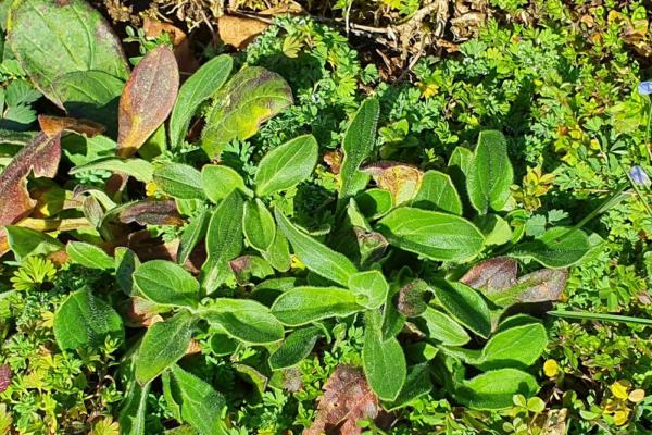 Silene latifolia, le compagnon blanc